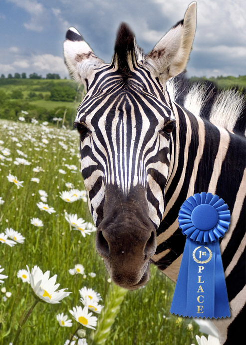 First Place Zebra