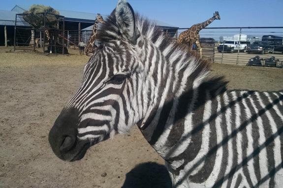 Lil-Zebra_small