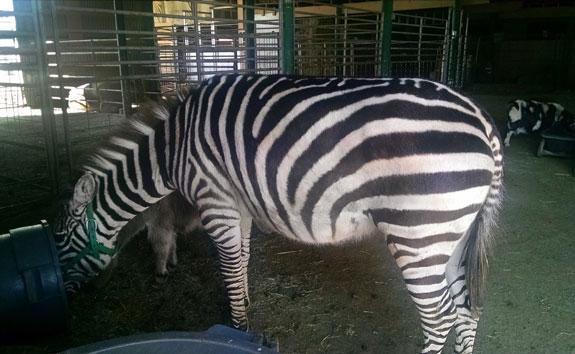 Zebra-Eats_small